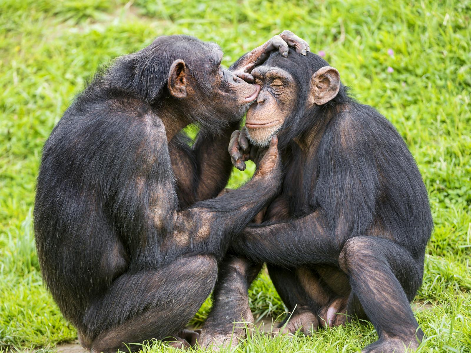 Young chimps taking care of each other (2019) by Tambako the Jaguar (Flickr | CC BY.ND 2.0
