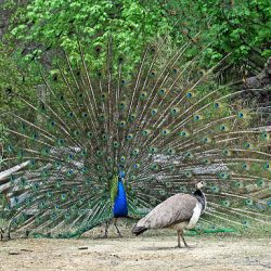 Two peacocks.